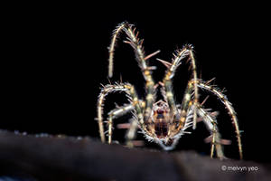 Pirate Spider by melvynyeo
