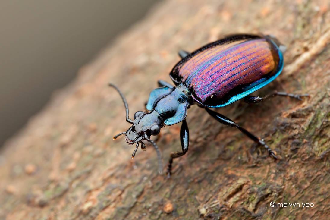 Ground beetle, Physodera eschscholtzii
