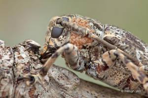 Phoretic mites on Longhorn beetle by melvynyeo