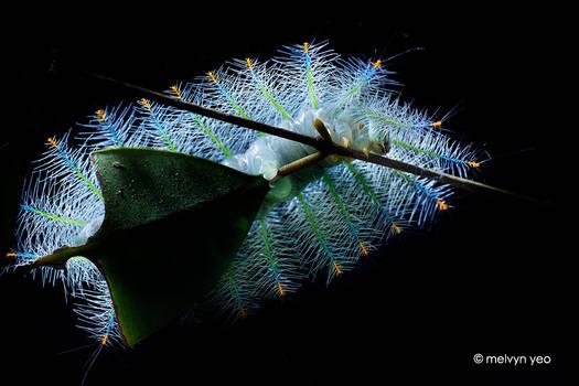 Archduke larva