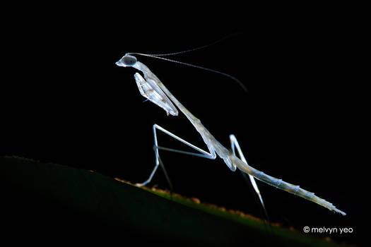 White Mantis Nymph