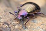 Darkling beetle (Stenochiinae)