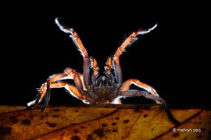 Tube trapdoor spider threat pose by melvynyeo