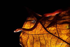 Pseudorabdion longiceps by melvynyeo