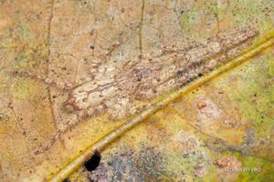 Huntsman spider Pandercetes sp. by melvynyeo