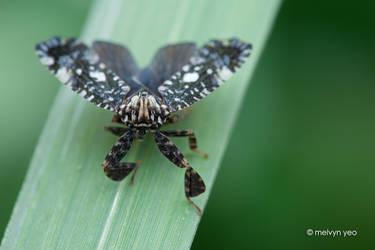 Lophopidae. Elasmoscelis sp. by melvynyeo