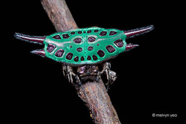 Spiny back orb weaver (Gasteracantha sp.) by melvynyeo