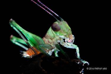 Forest floor katydid Lipotactes maculatus by melvynyeo