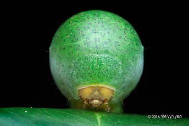 Nolid Moth Larva by melvynyeo