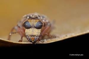 Fungus Weevil by melvynyeo