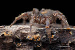 Mud Mimic Ground Spider Cryptothele sp.