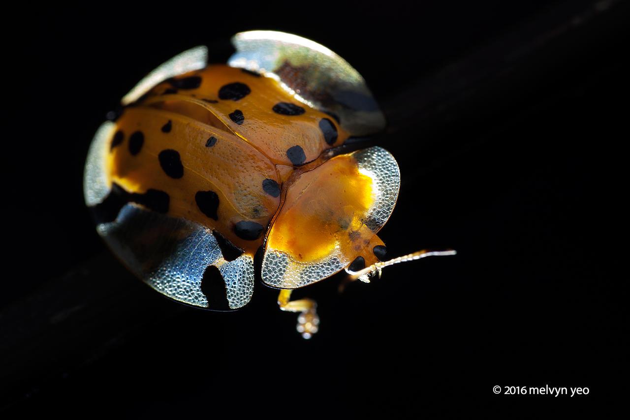 Tortoise Beetle by melvynyeo