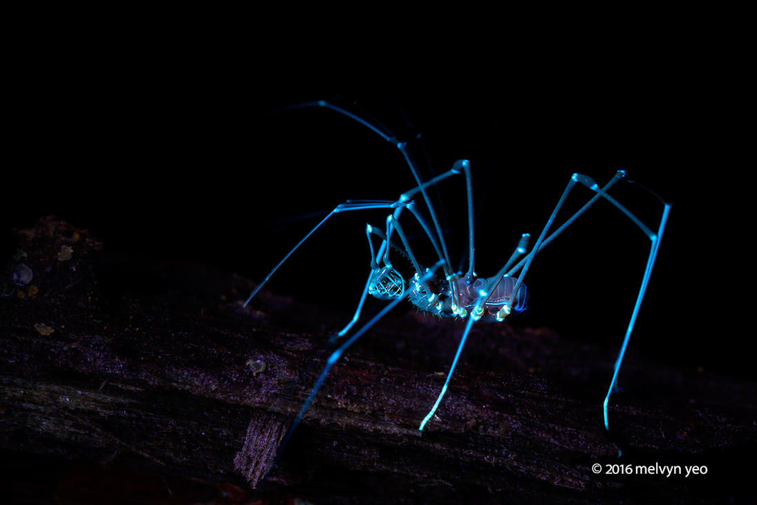 Harvestman (Epedanidae) UV by melvynyeo
