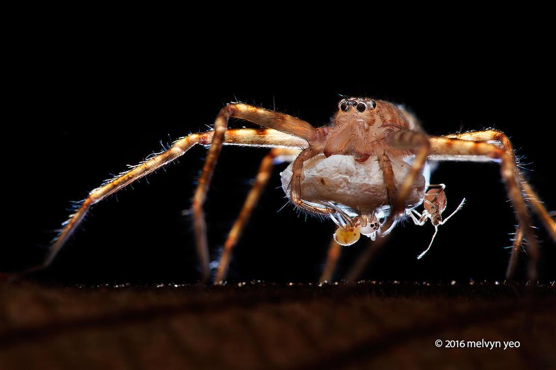 Huntsman spider babies