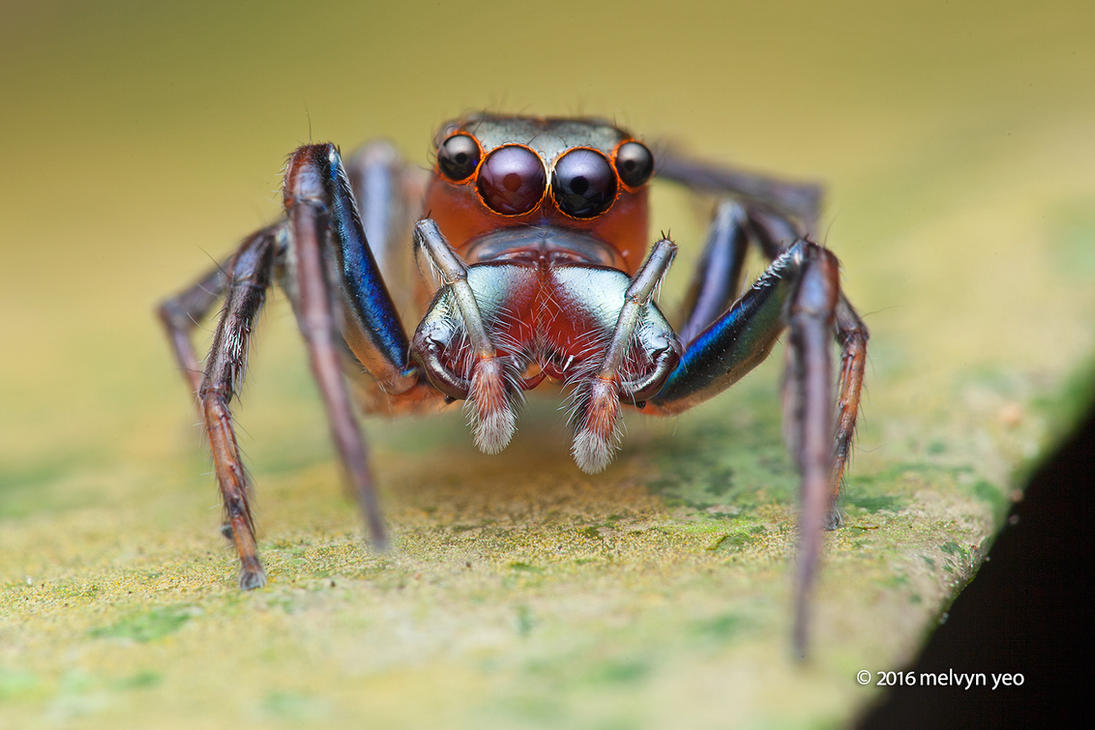 Wide-jawed jumping spider (Parabathippus sp.) by melvynyeo
