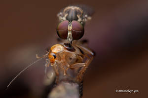 Robberfly with roach prey by melvynyeo