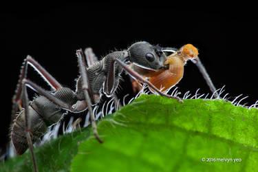Ant (Diacamma sp.) with Caterpillar prey by melvynyeo