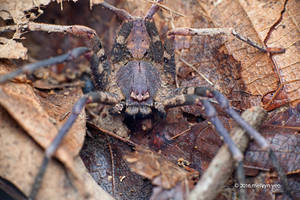 Leaf Litter Huntsman Spider by melvynyeo