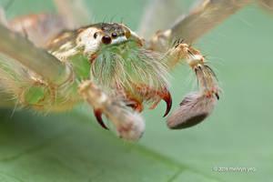 Huntsman spider (Gnathopalystes sp.)