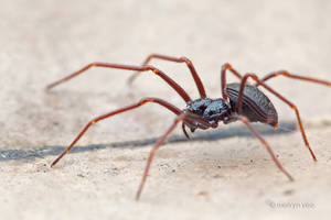 Armored spider Paculla sp. by melvynyeo