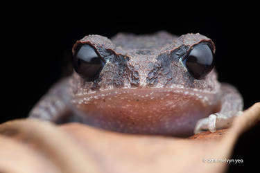 Leptobrachium nigrops (Blacked-eyed Litter Frog) by melvynyeo
