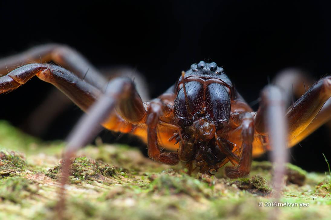 Zodariidae with prey by melvynyeo on DeviantArt