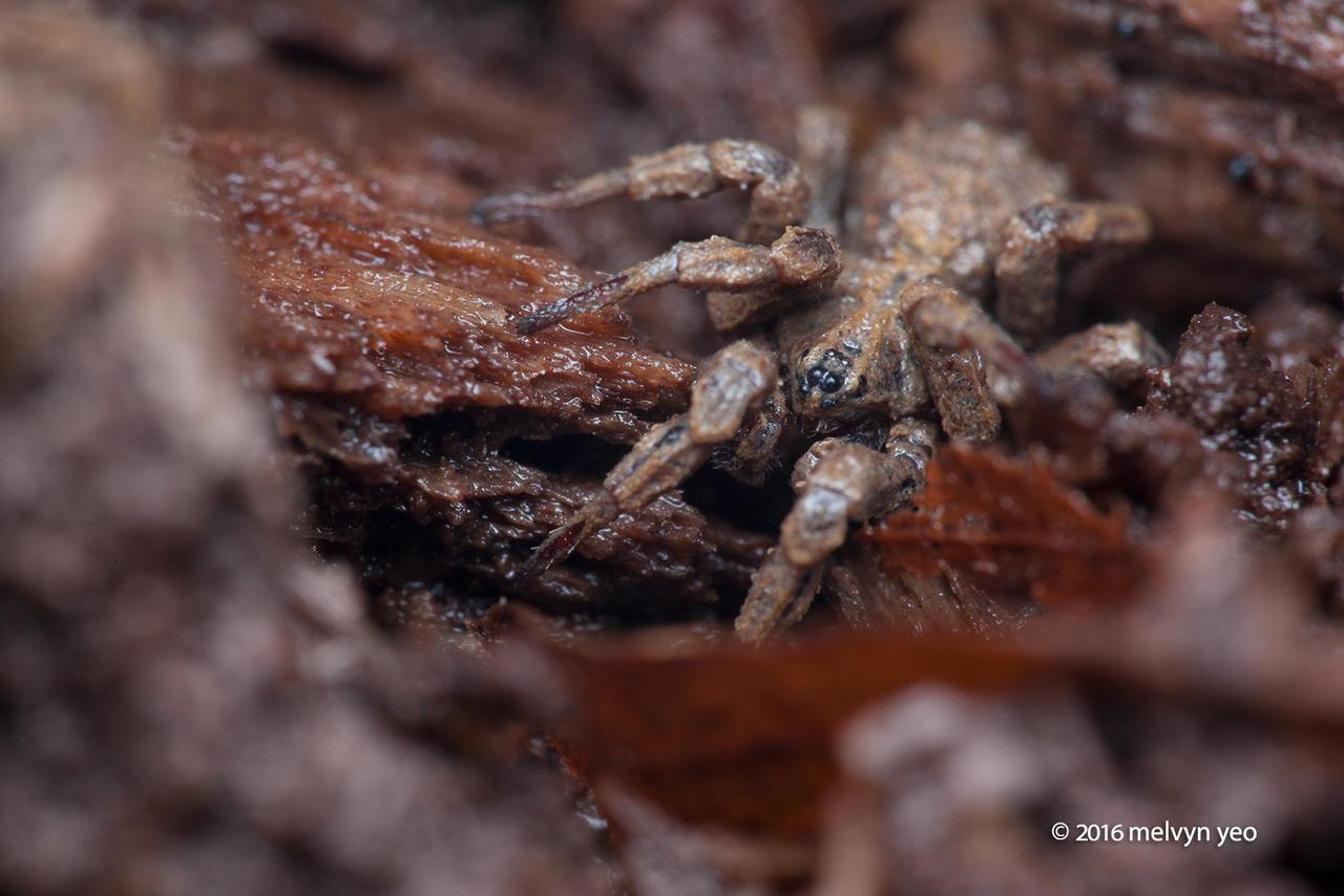 Mud Ground Spider Cryptothele sp.