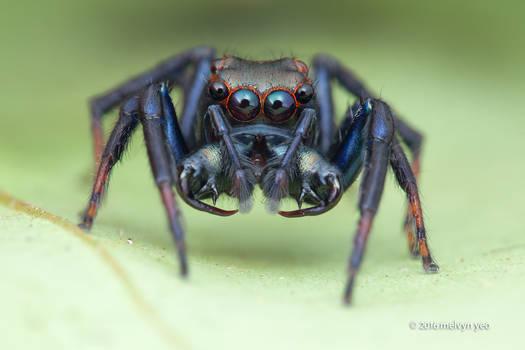 Wide-jawed jumping spider (Parabathippus sp.)