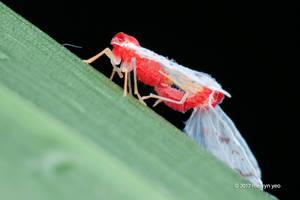 Derbidae, Saccharodite Chrysonoe by melvynyeo