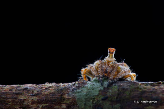 'Periscope' orb weaver spider
