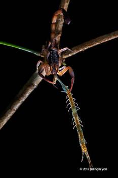 Scorpion Eating Centipede