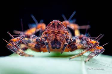 Lynx spider (Hamataliwa sp.) by melvynyeo