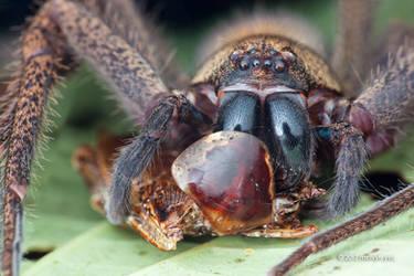 Huntsman spider by melvynyeo