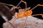 Epedanidae: Acrobuninae: Metacrobunus macrochelis by melvynyeo