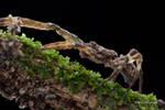Crab spider Borboropactus (Simon, 1884)