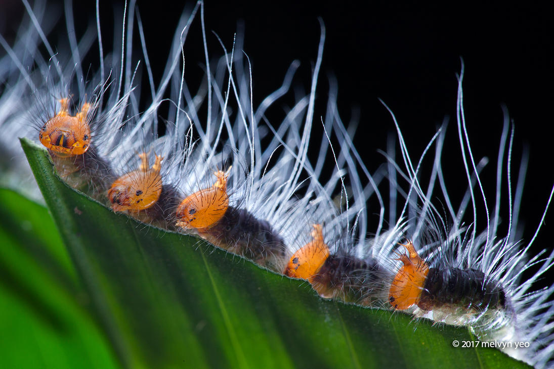 Caterpillar by melvynyeo