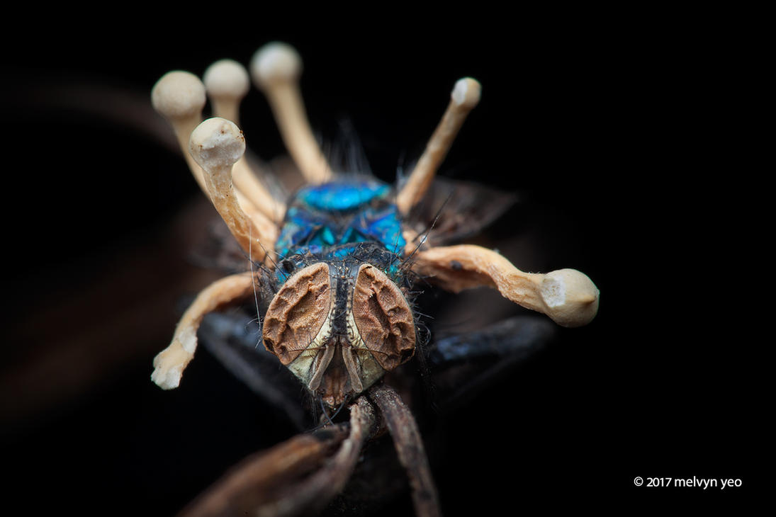 Parasitic Fungi on fly by melvynyeo