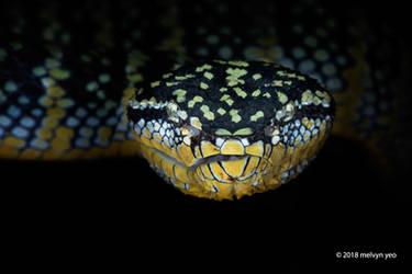 Female Wagler's Pit Viper - Tropidolaemus wagleri by melvynyeo