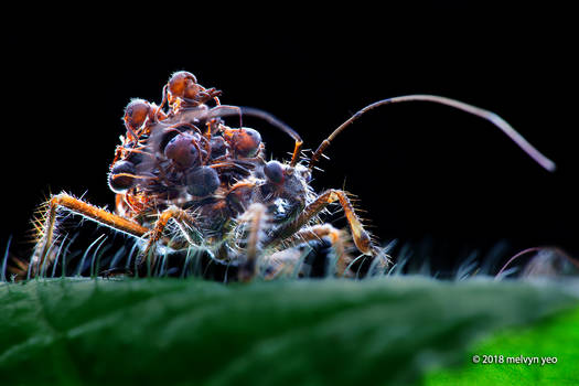 Ant-snatching Assassin bug nymph (Acanthaspis sp.)