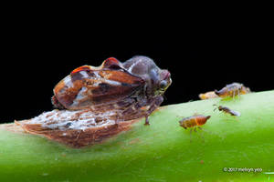 Treehopper protecting eggs from Parasitoid wasp by melvynyeo
