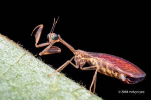 Mantispidae by melvynyeo