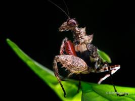 Pachymantis bicingulata