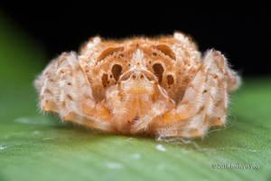 Bolas Spider, Ordgarius sexspinosus by melvynyeo