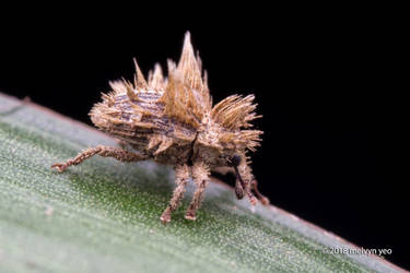Fungus mimicking Weevil