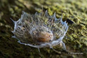 Arctiinae Pupa by melvynyeo