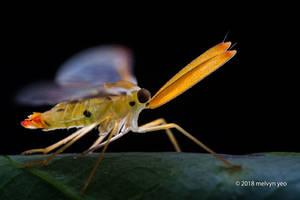 Derbid Planthopper by melvynyeo