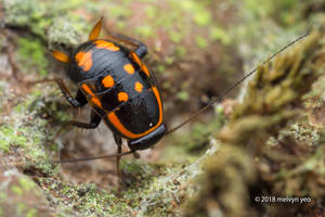 Sundablatta sexpunctata Cockroach Nymph