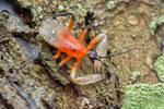 Assassin bug, Amulius cf. sp, Ectinoderini