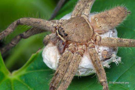 Heteropoda sp. with egg sac