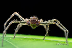 Crab Spider by melvynyeo